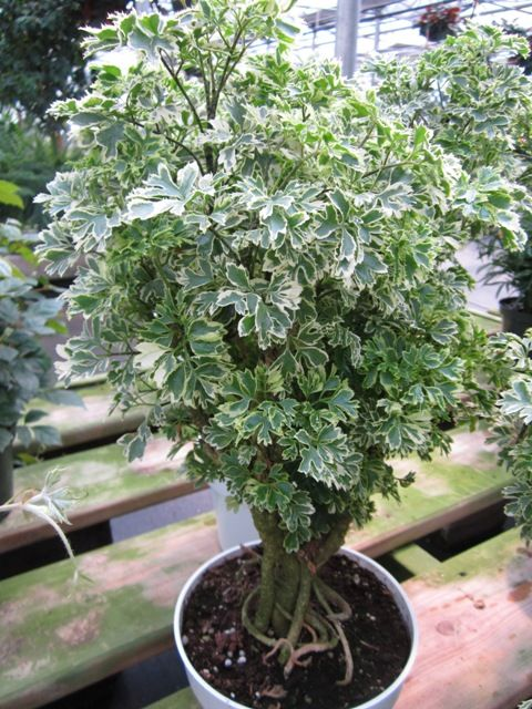 Variegated Aralia Polyscias House Plants Pinterest