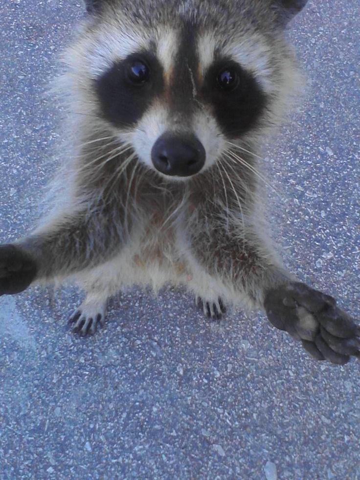 how to raise a pet raccoon