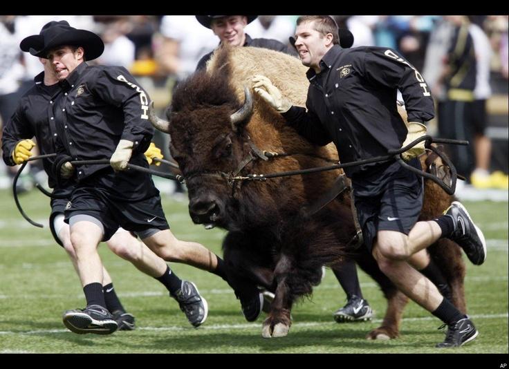 Ralphie the Buffalo, University of Colorado
