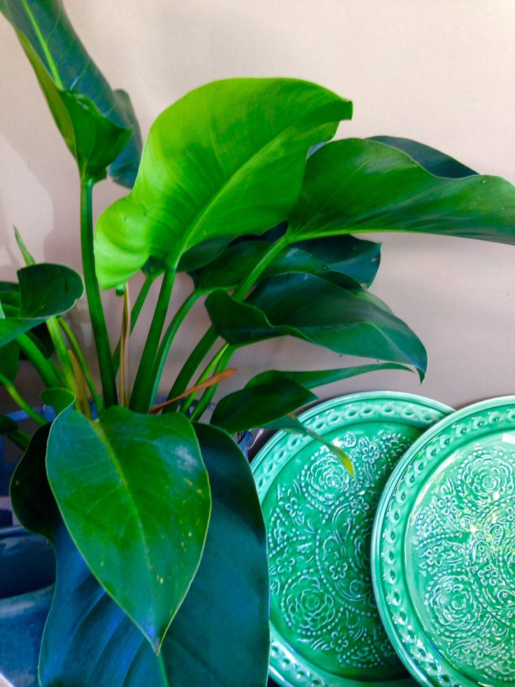 Congo Philodendron  A very robust indoor plant that suits indoor spaces with indirect light. Very easy to maintain $45