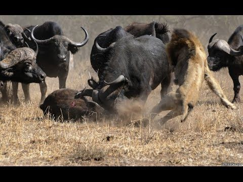 National Geographic Animals - HOW BUFFALO ESCAPES FROM MASSIVE LION ATTACK  SHOCKING!!! - YouTube