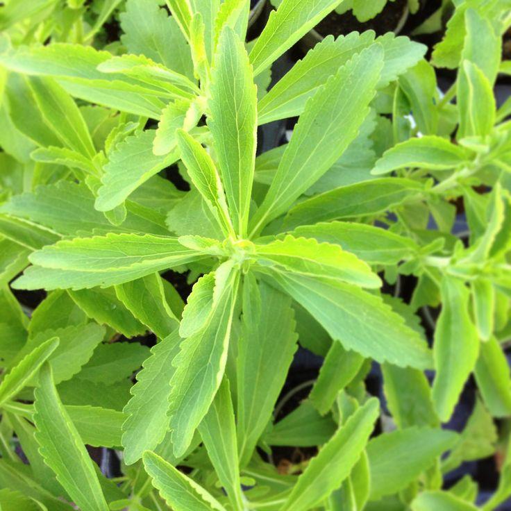 Stevia Adoçante Natural