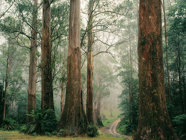 Big Trees: Mountain Ash forest Yarra Ranges National Park, Victoria, Australia.  Photograph: Ern Mainka /www.alamy.com