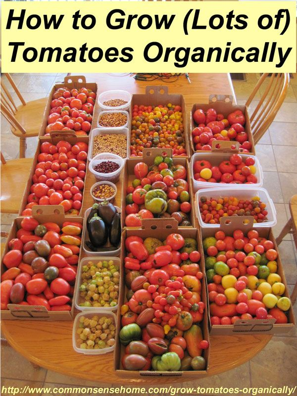 How to Grow Tomatoes Organically - From planting to harvest, 8 simple steps to Homegrown Tomatoes Without Chemicals, plus innovative gardeni...