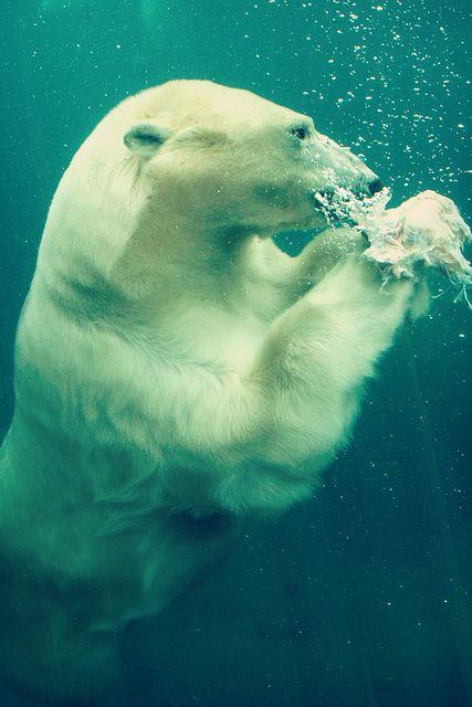 Swimming under water - polar bear