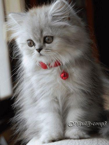 Cute kitten angora