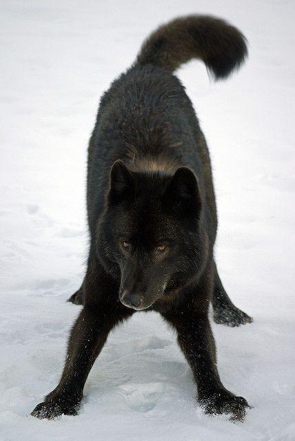black wolf    Flickr - Photo Sharing!