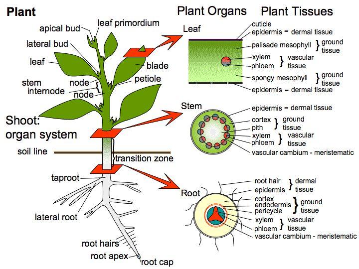 11 Best Nehemiah Grew Images On Pinterest Plants Anatomy And