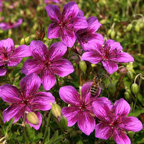 74 best geranium images on pinterest geraniums hardy geranium and cottage gardens. Black Bedroom Furniture Sets. Home Design Ideas