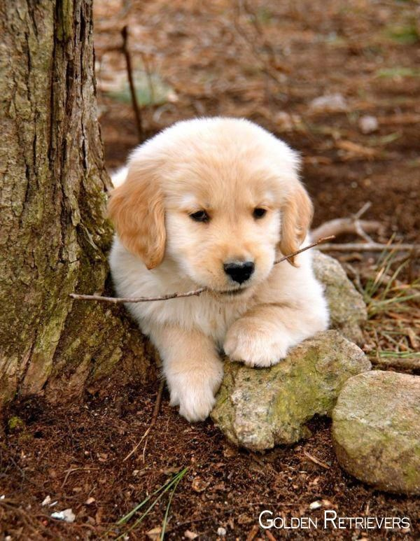 More About The Trustworthy Golden Retriever Puppy Exercise Needs