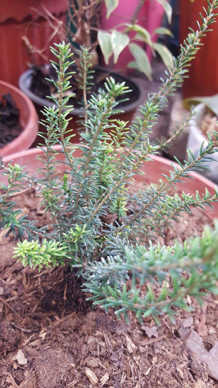 """"""" Erica sp. """" - Perteneciente a la familia Ericaceae, es una planta increíble. Erica es un género botánico que comprende 863 especies aceptadas. La mayoría de ellas son originarias de El Cabo (Sudáfrica), pero hay algunas que se encuentran en Europa, incluyendo el archipiélago canario. Es muy adaptable, y resistente a algo sorprendente: el fuego. - Este decorativo arbusto crecen hasta una altura de un metro aproximadamente. Tiene hojas diminutas, de unos 10mm de longitud, perennes, de color…"""