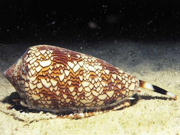 Textile Cone Snail - This innocuous-looking snail is actually one of the planet's most toxic creatures.
