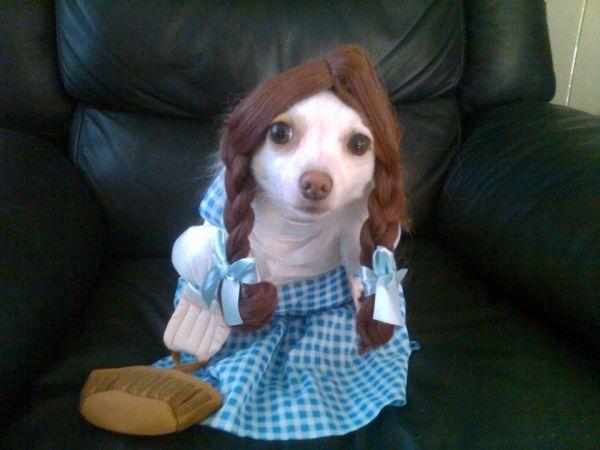#Chihuahua #puppies #cute @Olivia DeJournette @Katie DeJournette