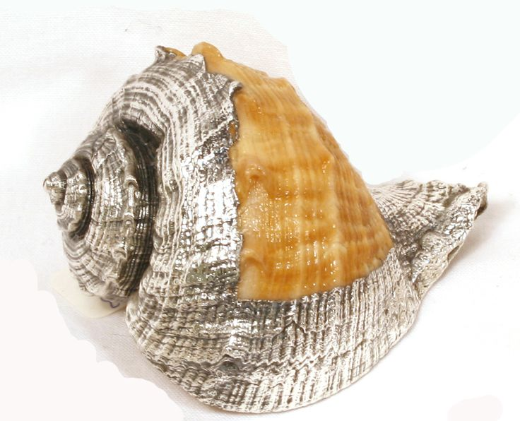 Silver Dipped Sea Shell.