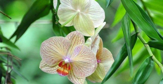 Как приручить строптивую орхидею. Выращивание орхидей. Фото - Ботаничка.ru