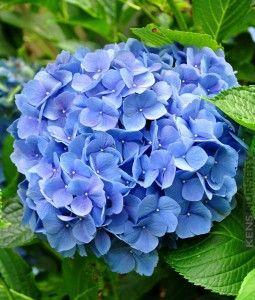 Beautiful Hydrangea Macrophylla Nikko Blue  #HYD-MNB