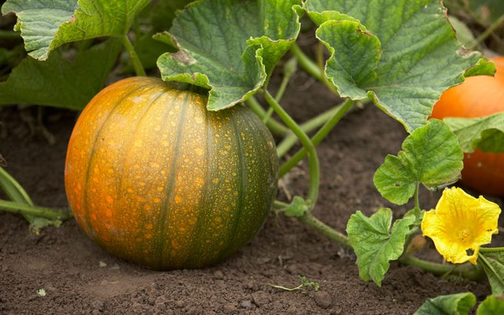 Pumpkins and their kin, the winter squashes, take months to mature. Don't rush the process; a squash's hard, protective skin develops with time.