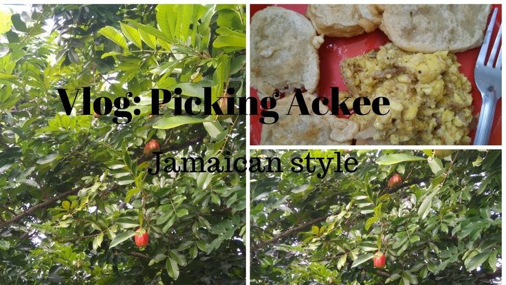 Vlog: How to pick Ackee   What is Ackee   Jambeauty  Jamaican