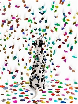Dalmatian Dog looking at falling colored spots - Photographer: Gandee Vasan