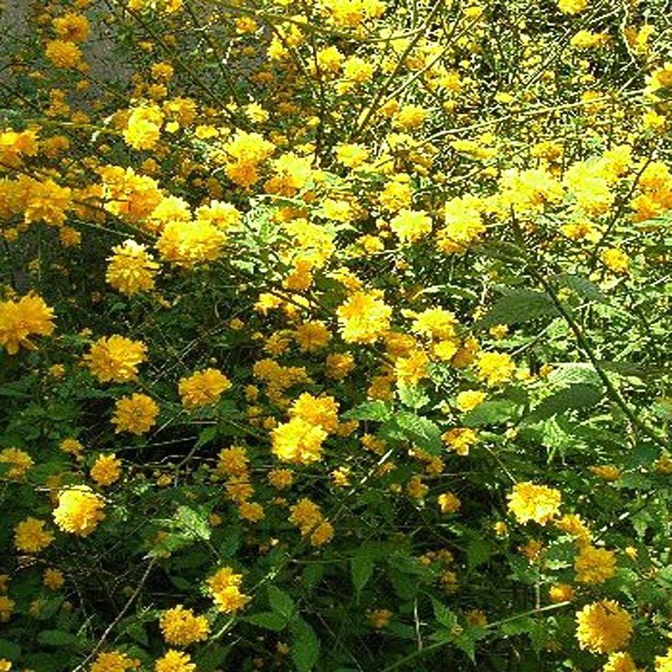 31 best shrubs images on pinterest garden plants backyard ideas japanese kerria or easter rose plant k82318 at the home depot mightylinksfo