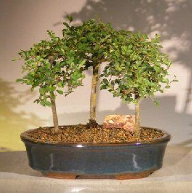 Chinese Elm Bonsai Tree 3 Tree Forest Group Scene (ulmus parvifolia)