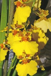 cattleya orchid care instructions