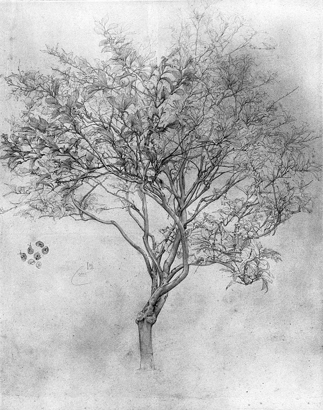 Study of a Lemon Tree, 1859  (53.4 X 39.4 cm)  silverpoint on white paper. Frederic, Lord Leighton