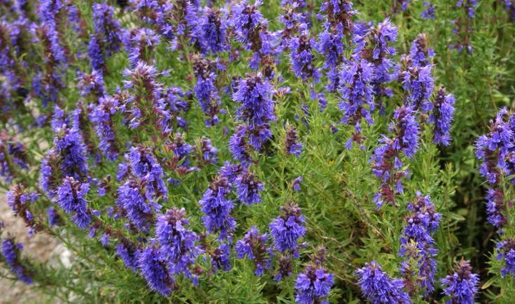 El hisopo es una planta medicinal con propiedades for Planta decorativa con propiedades medicinales
