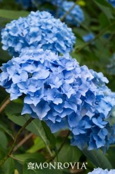 Monrovia's Nikko Blue Hydrangea details and information. Learn more about Monrovia plants and best practices for best possible plant performance.