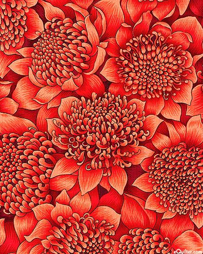 Stunning and unique, the beautiful waratah flower is a favorite in the Southern Hemisphere.