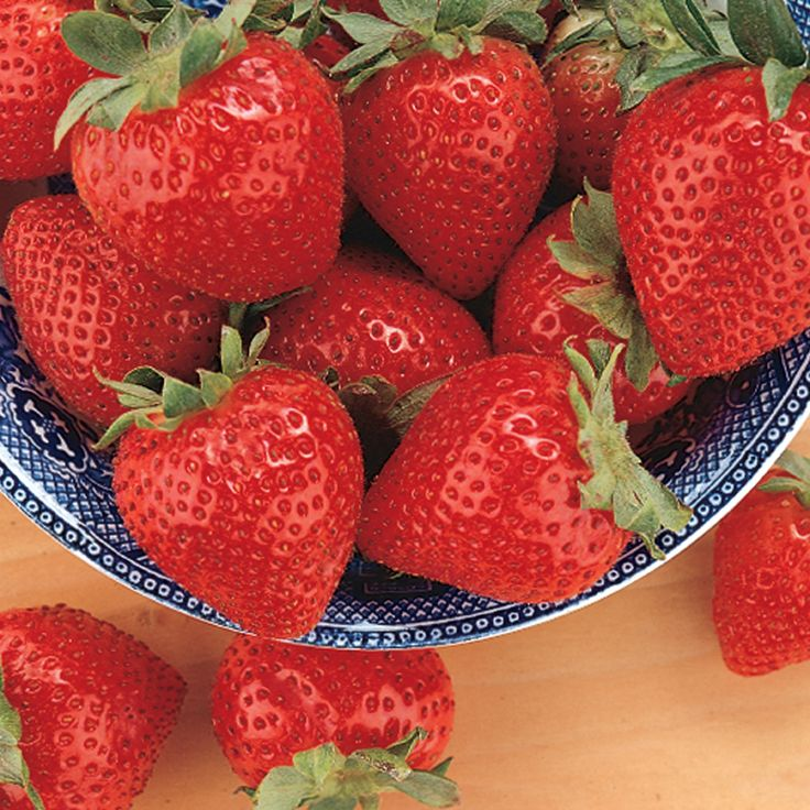 Tristar Everbearing Strawberry - Strawberry Plants - Stark Bro's