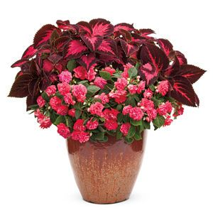 Garden Crossings Offers You Options For Your Combination Container  Plantings. Purchase Ace Of Hearts Combo