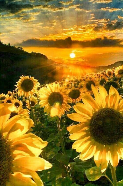 Sunflowers and a Golden Sunset.