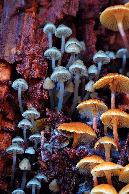 Los hongos saprobianos son hongos que actúan como descomponedores, alimentándose de madera muerta y en descomposición, hojas, basura y otras materias orgánicas. Para digerir esto secretan enzimas que lo descomponen. Esto libera y recicla nutrientes vitales para otros organismos, y ayuda a eliminar los desechos orgánicos. En la foto: Mycena subcana (izquierda) y Xeromphalina campanella (derecha) que descompone un tocón de conífera en Ordeson