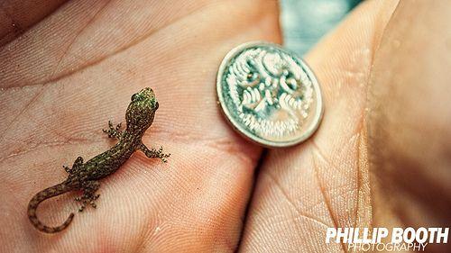 Thai Gecko