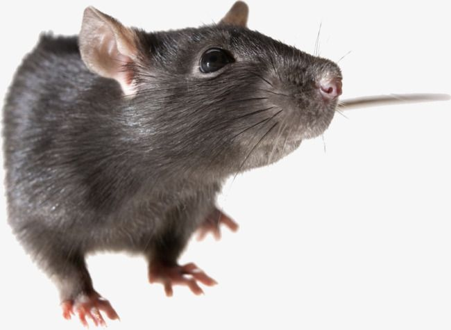 Small Mice And Rats Mice Clipart Little Mouse Mouselittle Png Transparent Clipart Image And Psd File For Free Download Rats Image Png