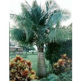 Ravenea Rivularis (Majesty Palm, Majestic Palm)