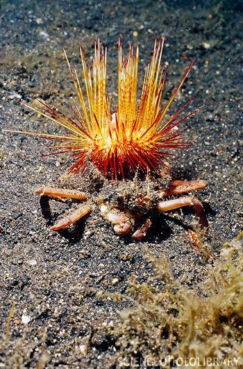 Venomous sea urchin (Astropyga radiata) carried by crab (Ethusa sp.) at night / Lembeh Strait, Indonesia