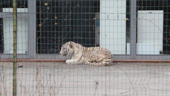 Due domatori hanno accompagnato l'animale in una gabbia mobile. E' un maschio albino e si chiama Oscar. Una famiglia asserragliata in casa