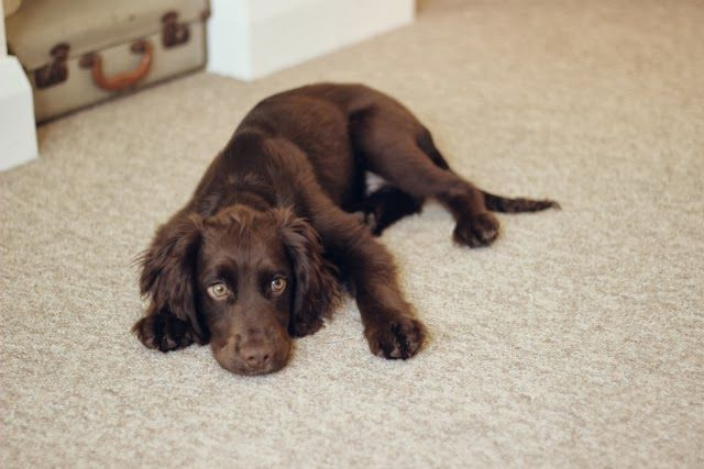 Stephanie Dreams | UK Lifestyle and Style Diary: Severus The Cocker Spaniel Puppy. Love Chocolate Cocker Spaniels!