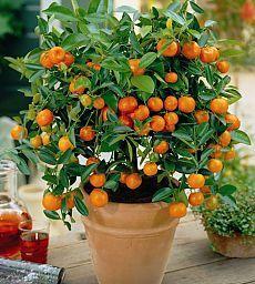 Как вырастить апельсиновое дерево из косточки