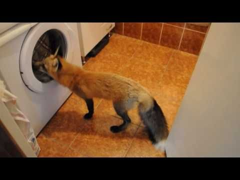 idk how these people domesticated a fox, but it is rather fascinated with the dryer
