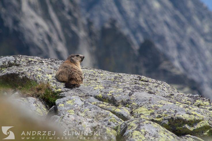 Marmot in the Tatras.  #wildlifephotography