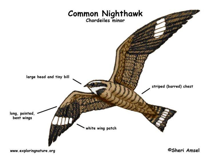 Nighthawk (Common)