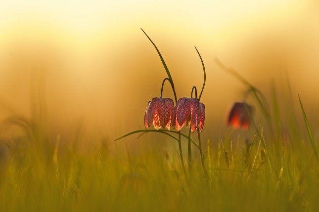 Kievietsbloemen - Erik Veldkamp