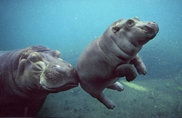 """A momma hippo """"booping"""" a baby. 