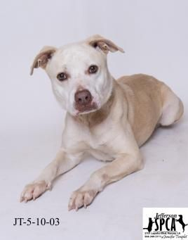 *Shelter is Full* Dro is a chocolate and white pitbull terrier, but pic won't update