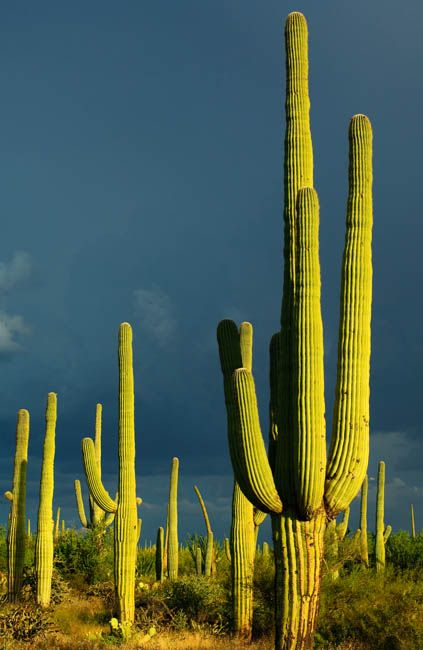 Saguaro National Park  Tucson, AZ.  It takes up to 75 years for a Saguaro to grow one side arm.  Most grow 40-60 ft high with a 10 foot girth and may live for more than 150 years. Enjoy the beauty and wildlife: road runners, coyote, bats, quail, scorpions and beautiful flowers on the way to the Sonora Desert Museum.