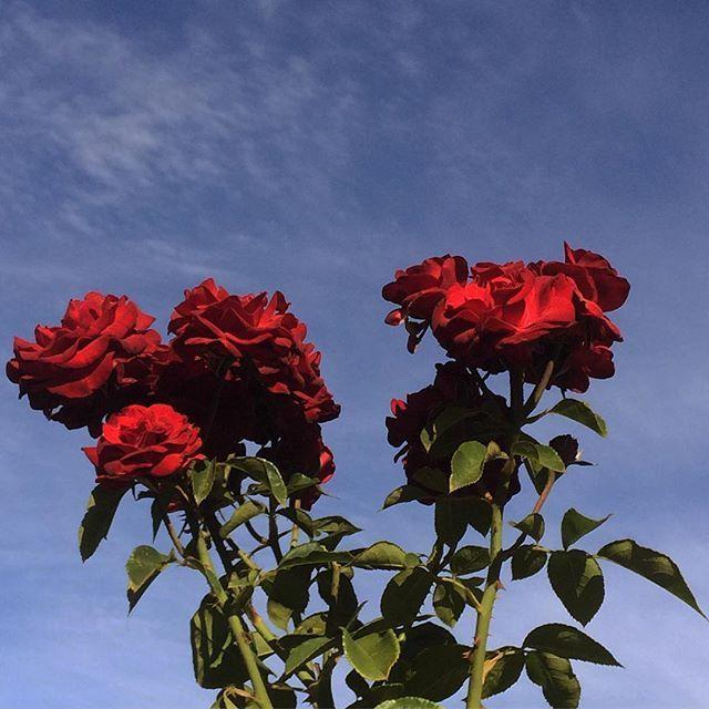 Best 25 Flower Desktop Wallpaper Ideas On Pinterest: Best 25+ Rose Flower Wallpaper Ideas On Pinterest