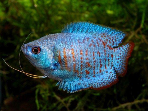 145 besten Fadenfische  Co Bilder auf Pinterest  exotische